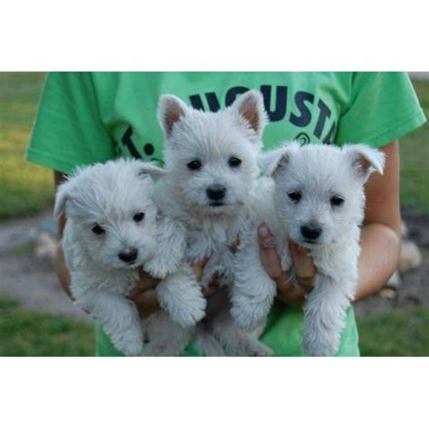 akc westie puppies for sale 1000 ideas about westie puppies for sale on goldendoodles for sale pug
