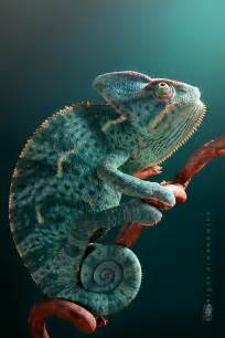 veiled chameleon beautiful science photos pinterest