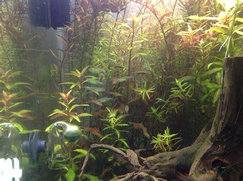 aquascaping forum welche pflanzen zu proserpinaca palustris cuba