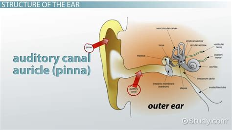 A Place Explanation Place Theory Of Hearing Definition Explanation Lesson Transcript Study
