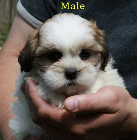 tiny shih tzu puppies tiny shih tzu puppy puppies for sale dogs for sale in ontario canada curious