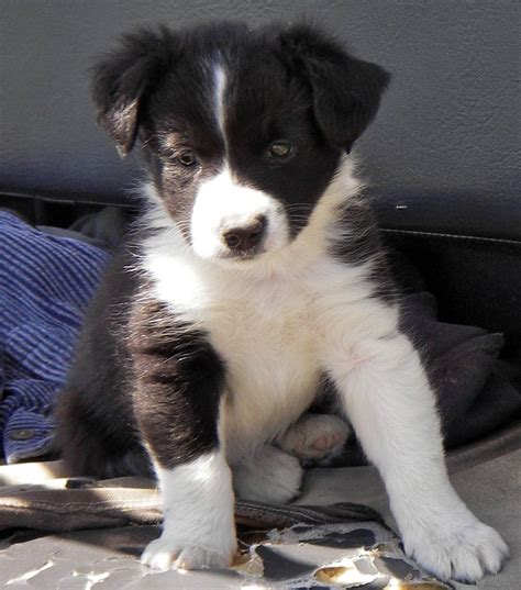 collie puppy pictures border collie puppies wallpaper
