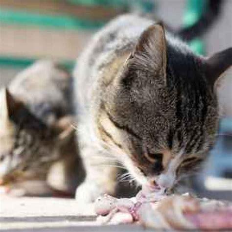 alimenti gatti vantaggi e svantaggi della dieta barf per il gatto gatto
