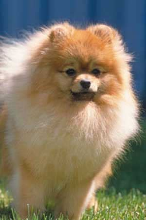 pomeranian magazine dogs that look like foxes yahoo answers