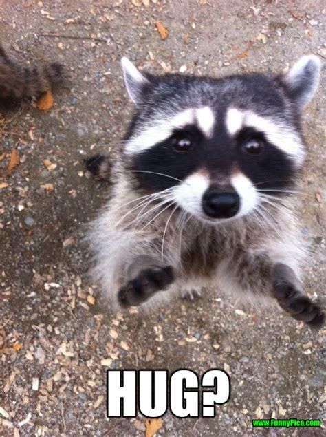 Raccoon Meme - crazy but funny raccoon 30 of 30 funny pinterest
