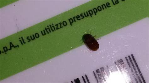 insetti volanti in casa piccoli insetti marroni in cucina pestforum
