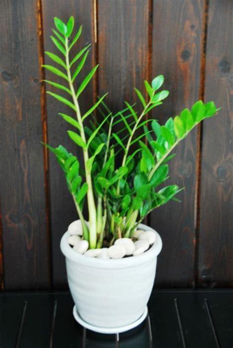 zz plant medium  plant decor torontos indoor