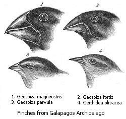 file:darwin's finches.jpeg wikimedia commons