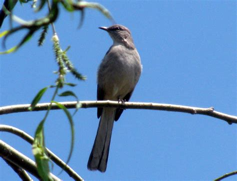 mockingbird imitates bluejay nature in the burbs