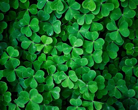 shamrock green download wallpaper 1280x1024 shamrock green leaves macro