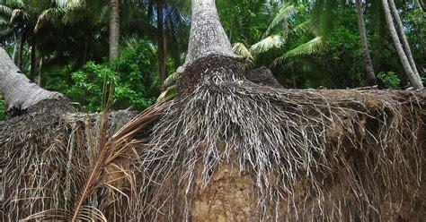 manfaat akar kelapa untuk pria perkasa masturnado