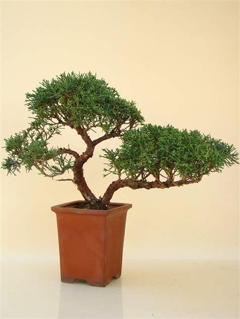 genki bonsai knuffige wacholder genki bonsai