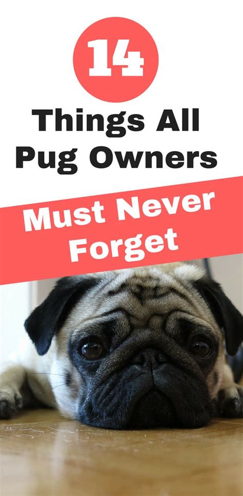 baby pugs facts best 25 pug facts ideas on pugs pug puppies and baby pugs