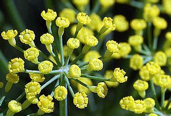 fiori di finocchio fiori di finocchio fennel flowers paperblog