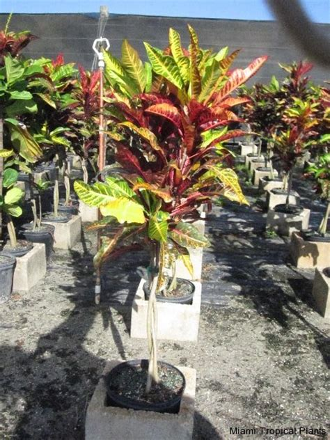 tropical plants for sale in florida images tagged quot tropical plants from miami quot tropical