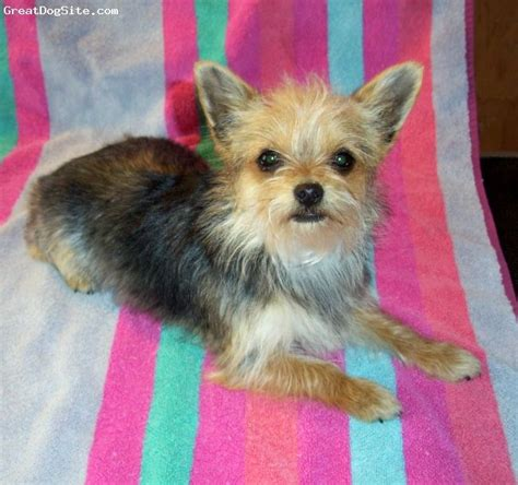 long hair yorkie pom mix 24 best yorkie chihuahua mixed puppies images on