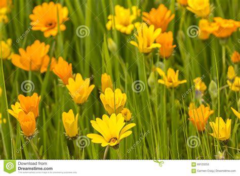 immagini fiori gialli fiori gialli ed arancioni immagine stock immagine di