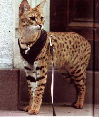 costo gatti persiani razze e allevamenti felini