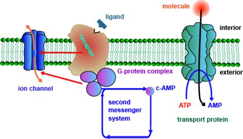 3 proteins in the cell membrane 2 types of proteins in a cell membrane how to maintain