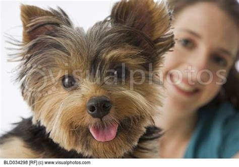 silky terrier with haircut 17 best images about fuzzies on pinterest puppys yorkie