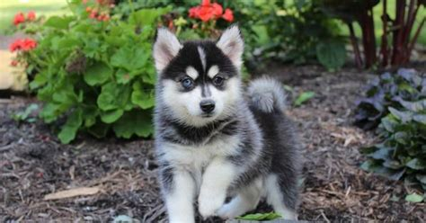 siborgi puppies for sale pomsky puppy for sale in ohio makes me laugh or smile pomsky puppies