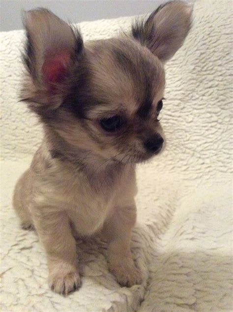 hair chihuahua puppies for sale beautiful haired chihuahua puppies for sale royston hertfordshire pets4homes