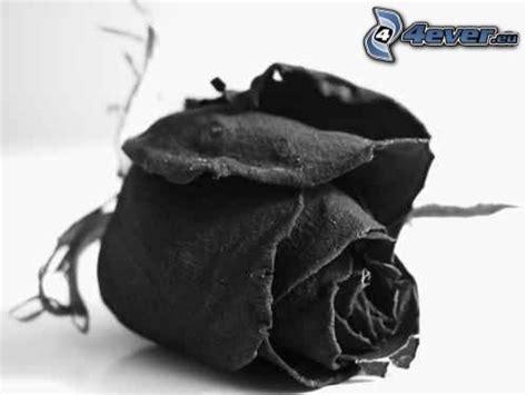 imagenes de rosas negras con sangre rosa negra