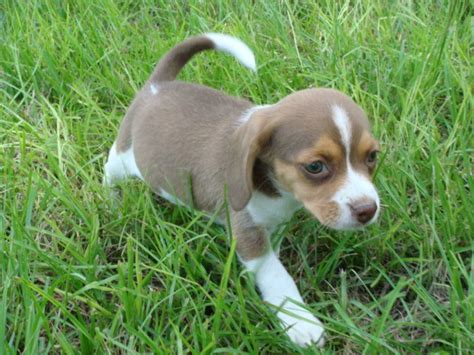 dogs 101 beagle pocket beagle info temperament puppies pictures