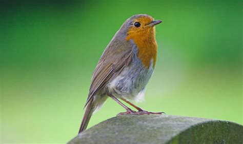 robin voted britain s national bird by the public nature