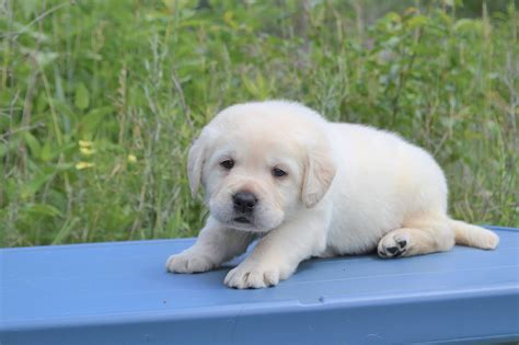 white lab puppies for sale white lab puppies for sale limited of akc winter valley labs mlk