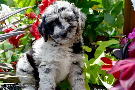 blue merle aussiedoodle puppies for sale aussiedoodle puppies 2017 2018 best cars reviews