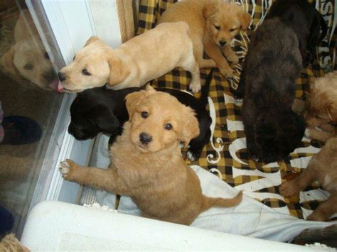 puppies free free puppies york pa all puppies now homes