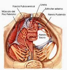 vestibulo feminino nervio pudendo blog de fisioterapia