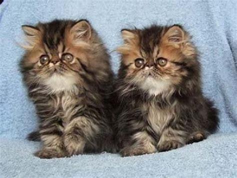 gatti persiani neri razze di gatti per bambini idee green