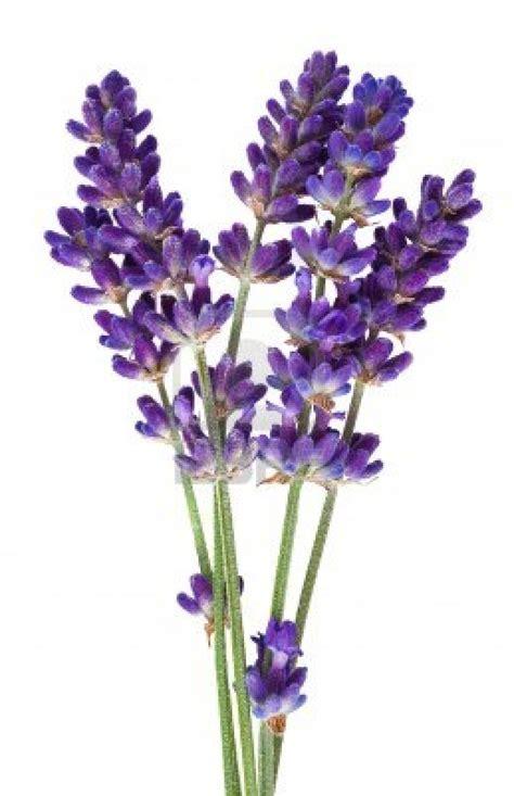 lavender 40 42 essential oil