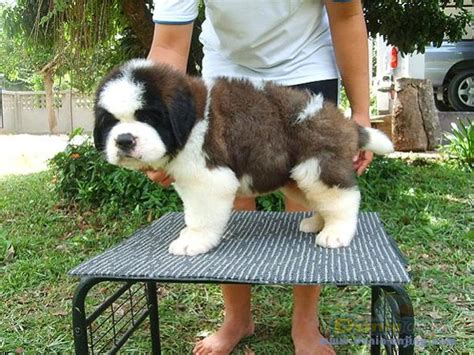 Anakan Bernard dunia anjing jual anjing bernard dijual anakan