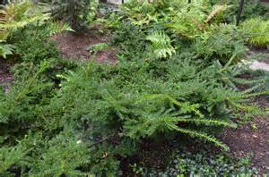emerald spreader 174 yew exciting new ground cover what