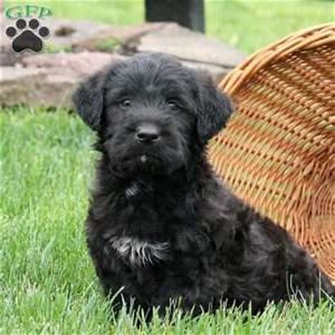 labradoodle puppies for sale in md miniature labradoodle puppies for sale in de md ny nj philly dc and baltimore