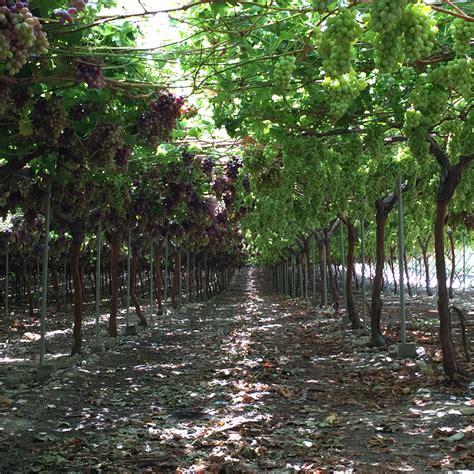 potatura uva da tavola uva da tavola necessario un rapido rinnovo varietale