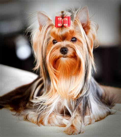 how to clean a yorkies how to groom a yorkie and style