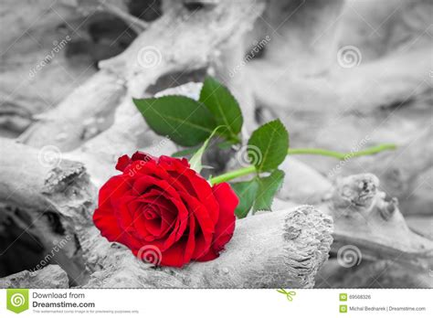 imagenes en blanco y rojo de amor red rose on the beach color against black and white love