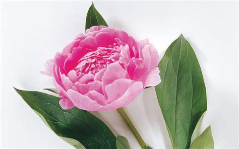 wallpaper desktop rose flowers rose flowers wallpaper flower wallpaper rose