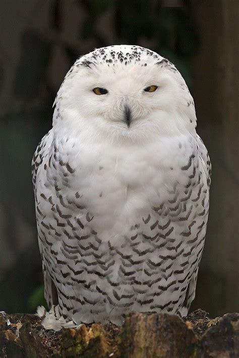 Snowy Owl Hedwig Papercraft By X0xchelseax0x On - 25 best ideas about owl bird on milk