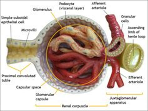 Blood In Urine After C Section by Kidney Cross Section Anatomy Diagram Human Health
