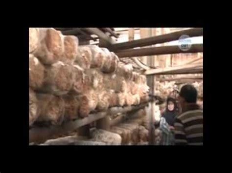 Bibit Jamur Tiram Unggulan budidaya jamur merang doovi