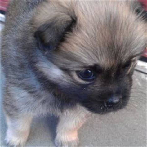 teacup pomeranian for sale melbourne chihuahua puppies for sale placed breeds picture