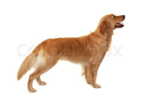 black and white golden retriever pictures golden retriever in black and white royalty free stock