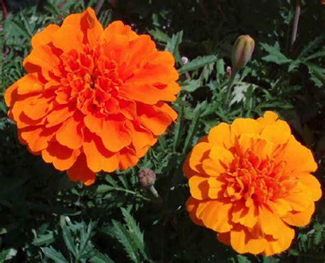 fiori simili alle margherite fiori da piantare a febbraio pollicegreen
