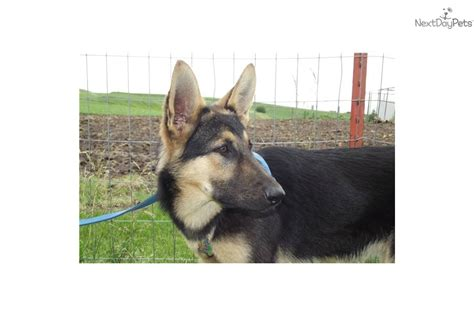 german shepherd wolf mix puppies for sale husky wolf hybrid puppies breeds picture