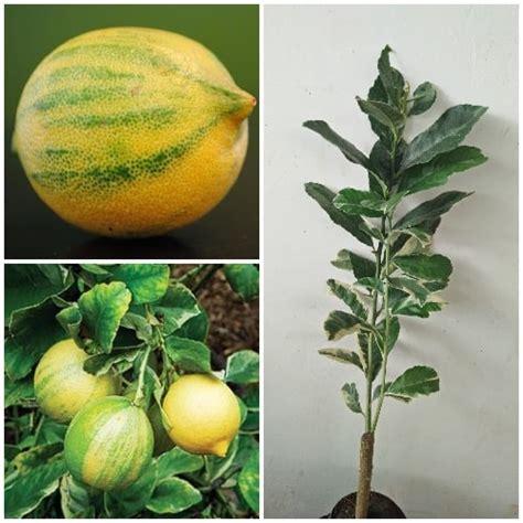 Bibit Buah Lemon jual tanaman jeruk lemon variegata bibit